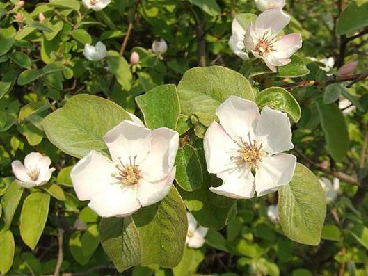 Айва цветы - ayva cvety