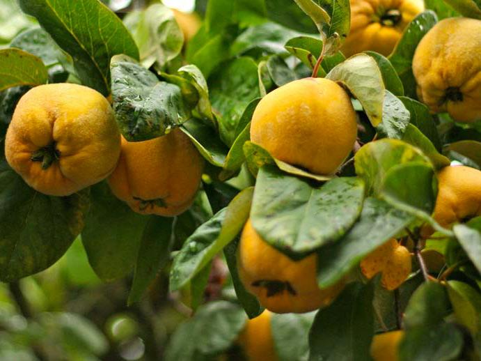 Айва плоды - ayva plody