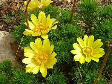 Горицвет весенний (Адонис)