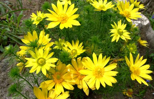 горицвет весенний в природных условиях