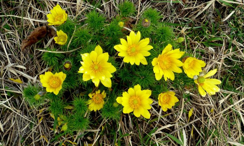 горицвет весенний (адонис) в природных условиях