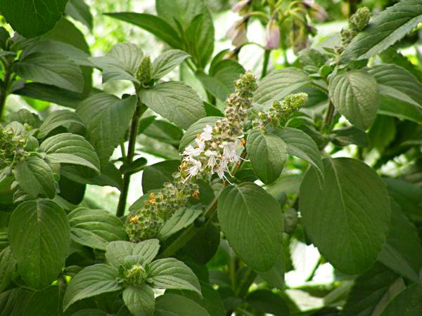 Базилик мятолистный, цветение
