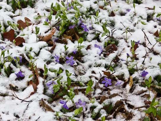 Барвинок малый - вечнозеленое растение