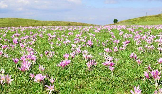 Цветение безвременника осеннего в природе