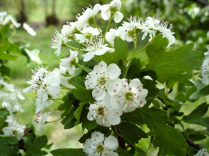цветки боярышника колючего