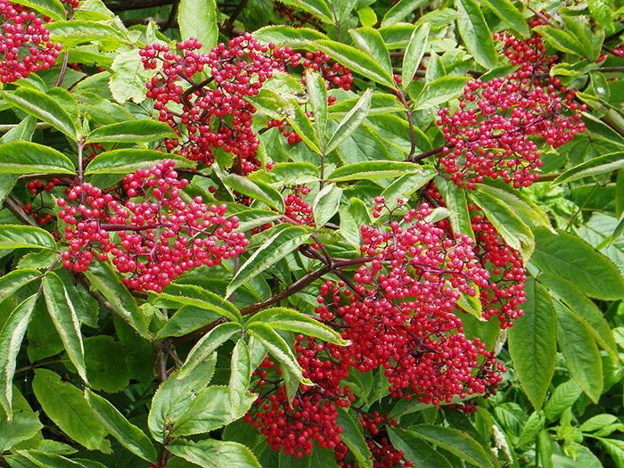 плоды бузины красной