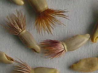 Семена василька синего