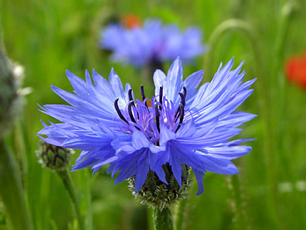 василёк синий фото