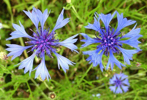 Цветки василька синего - cvetki vasilka sinego
