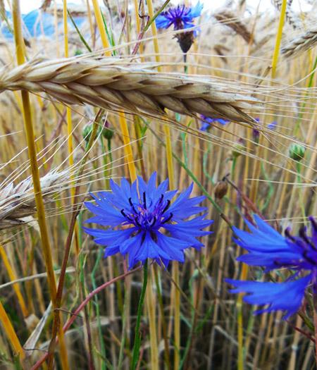 Василек синий в поле