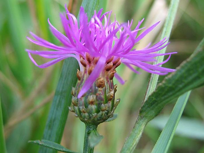Цветок василька лугового
