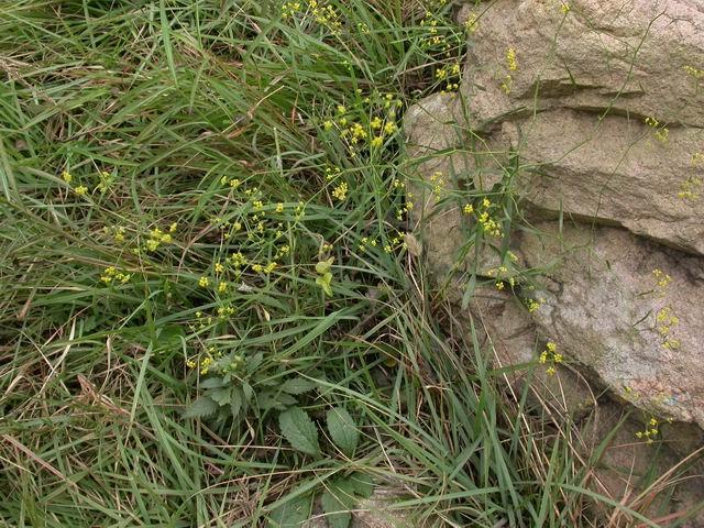 Володушка растет на каменистых склонах