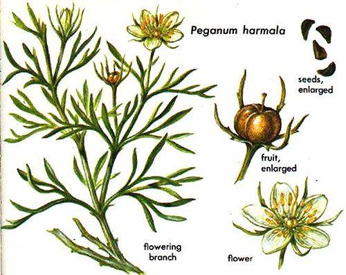 Гармала. Ботаническое описание