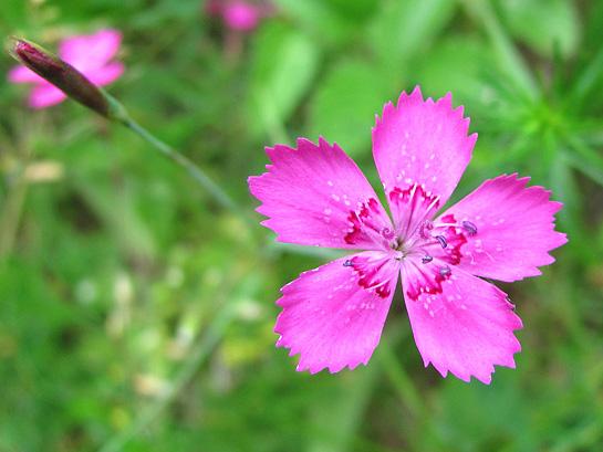 Цветок гвоздики травянки