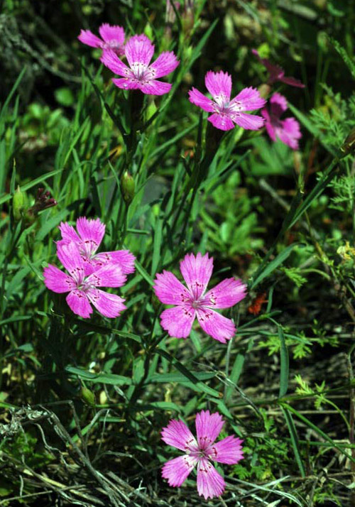 Ботаническое описание гвоздики разноцветной