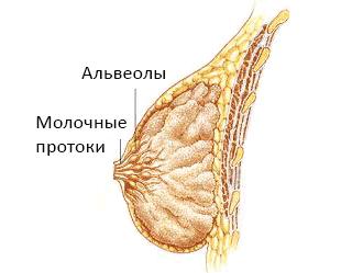 Строение женской молочной железы