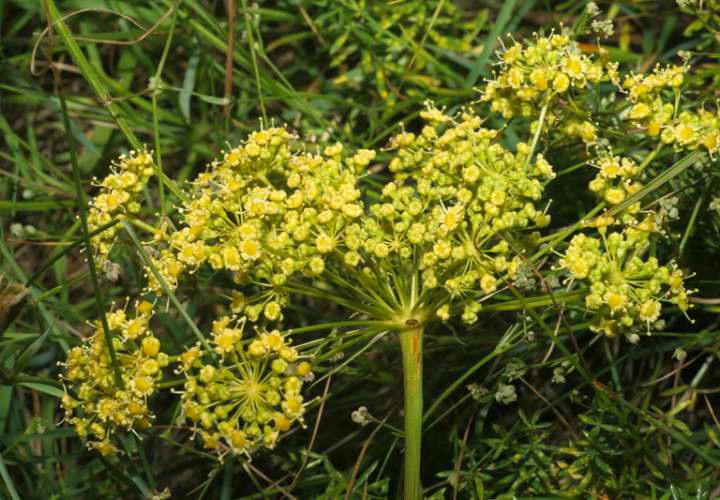 цветки горичника русского