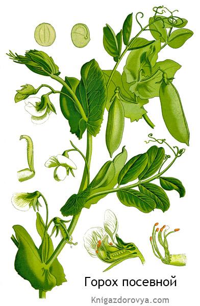 Ботаническое описание гороха посевного