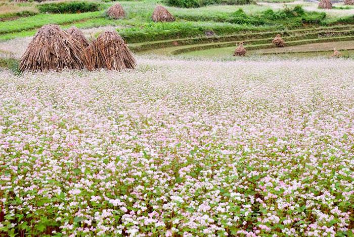 Гречиха посевная выращивание 40
