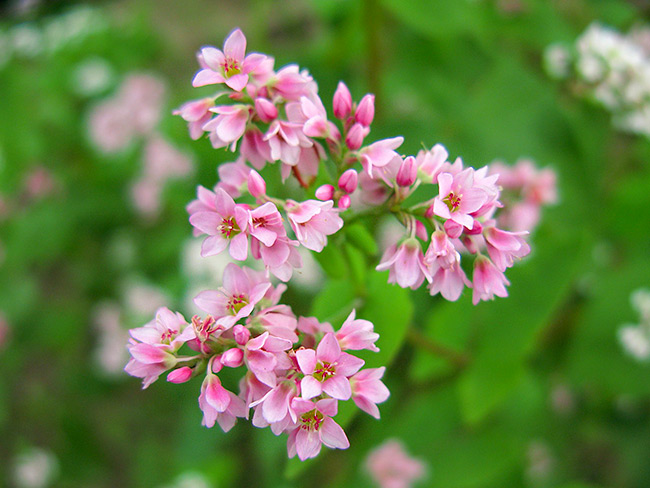 цветки гречихи
